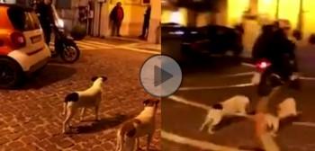 Gończy skuterowy włoski - nowa rasa psów myśliwskich