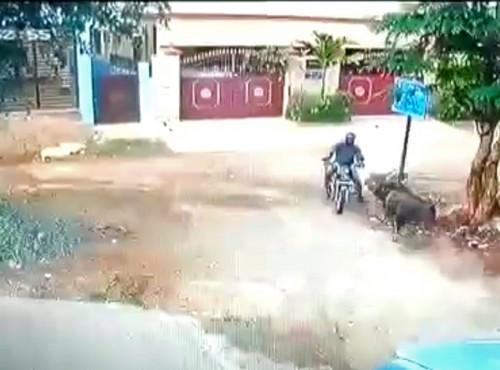 Zderzenie byka z motocyklistą, czyli