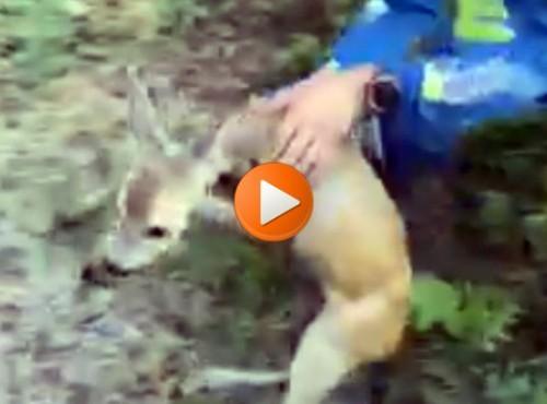 Motocykliści ratują sarnę z pułapki [VIDEO]