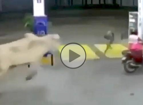Byk atakuje skuterzystów na stacji benzynowej. Gdy gniew rolnika przejdzie na zwierzę