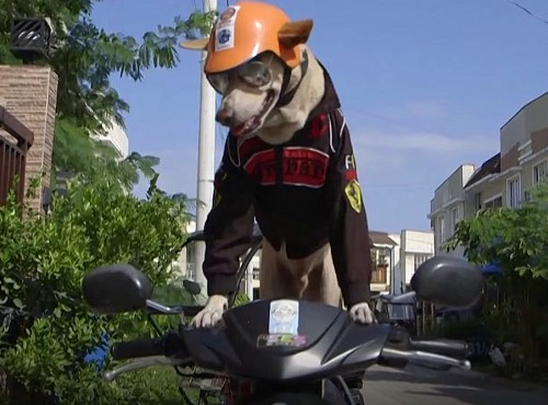 Bogie jeździ na motocyklu. Objechał całe Filipiny. Co w tym dziwnego? Bogie to pies!