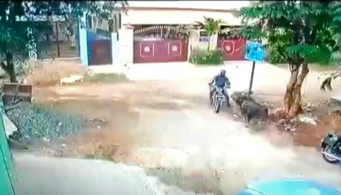 zderzenie motocyklisty z bykiem w indiach z