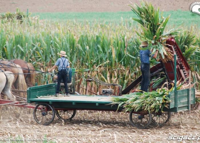 Amiszowie praca kukurydza