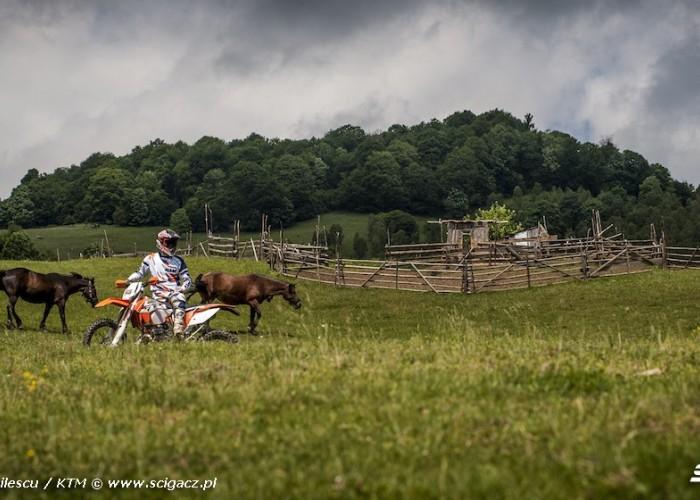rumunia dzikie konie