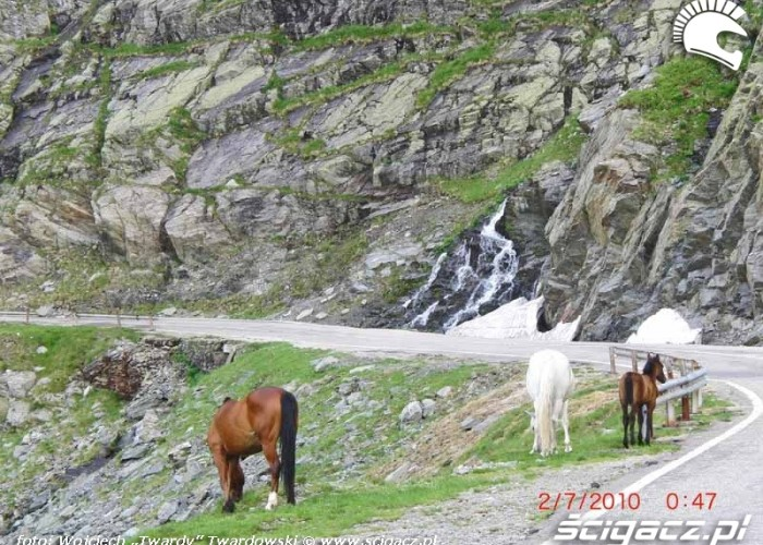Transylwanskie konie pasace sie to tu i tam,jak renifery w Norwegii