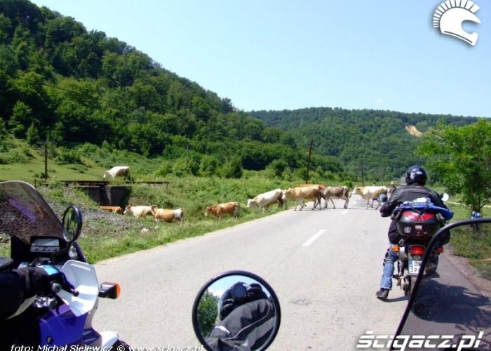 21 krowy na drodze