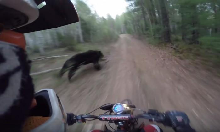 niedzwiedz kontra motocyklista
