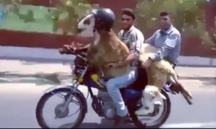 zwierze w kasku