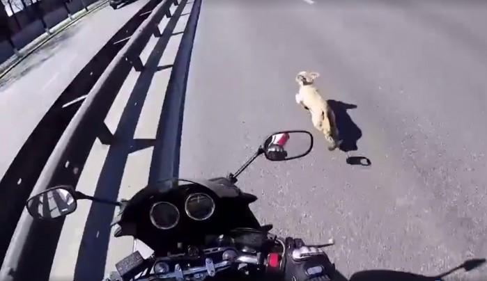 Motocyklista ratuje psa