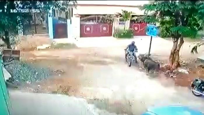 zderzenie motocyklisty z bykiem w indiach