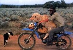 jazda z owca
